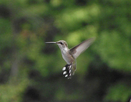 Hummingbird by Terrill Wilson