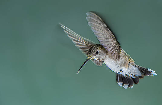 Hummingbird Touch Down by Ray Downs