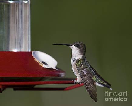 Hummingbirg  Colibri by Nicole  Cloutier Photographie Evolution Photography