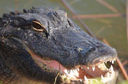 Hungry gator by Susan McNamara