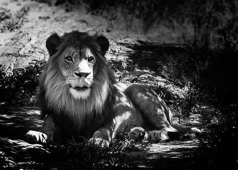 Hakon Soreide - Hungry Lion