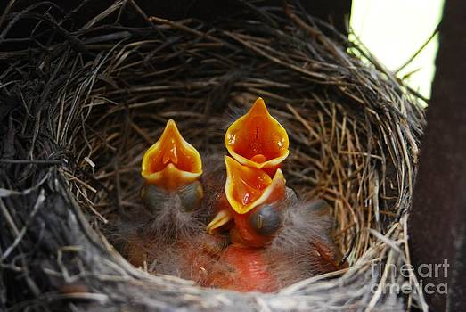 Hungry Robins by Crissy Sherman