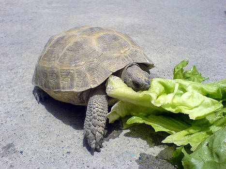 Hungry tortoise by Yvan Goudard