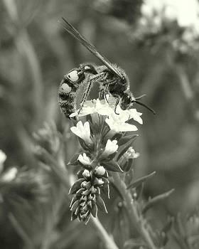 Peg Urban - Hunter Wasp on Heliotrope