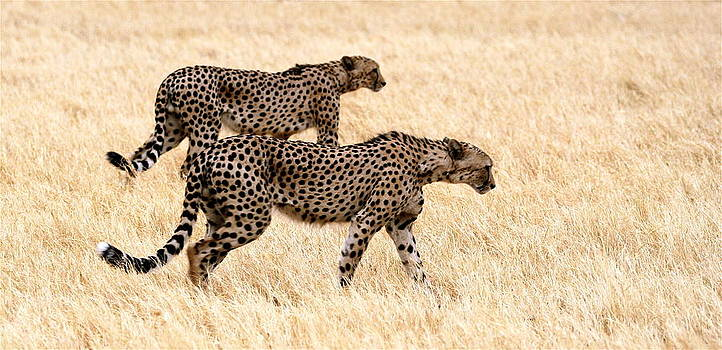 Hunting Cheetahs by Bruce Colin