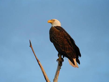 Hunting Eagle by Amber Bobbitt