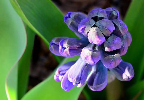 Hyacinth Beginning by Sandi OReilly