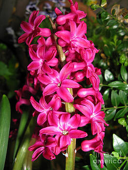 Ausra Huntington nee Paulauskaite - Hyacinth. Deep Pink.