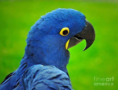 Gwyn Newcombe - Hyacinth Macaw
