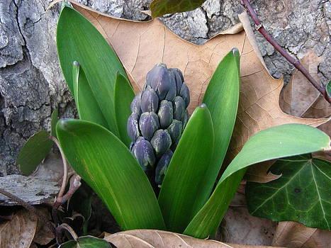 Hyacinth by Steve Skinner