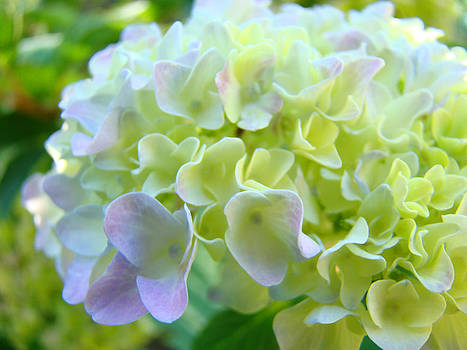 Baslee Troutman - Hydrangea Floral Fine Art Prints Paste Yellow Green