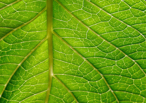 Hydrangea Leaf Macro Abstract by Sandi OReilly