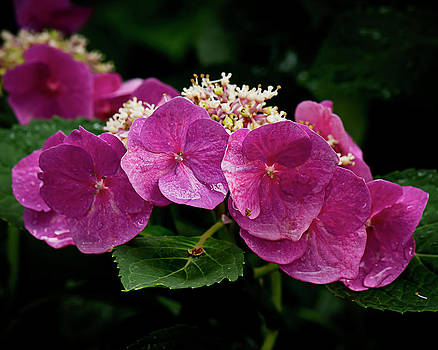 Hydrangeas No. One  by Michael Putnam