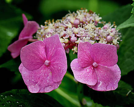 Hydrangeas No. Three by Michael Putnam