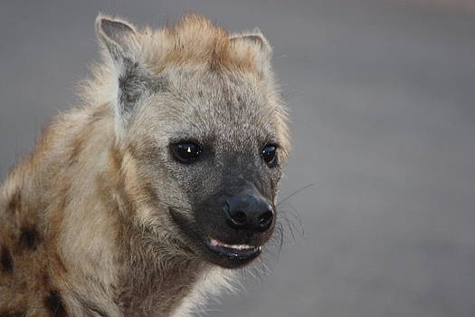 Hyena Smile by Barbara Allm