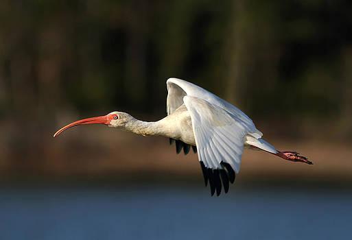 Ibis Flight by Phil Lanoue