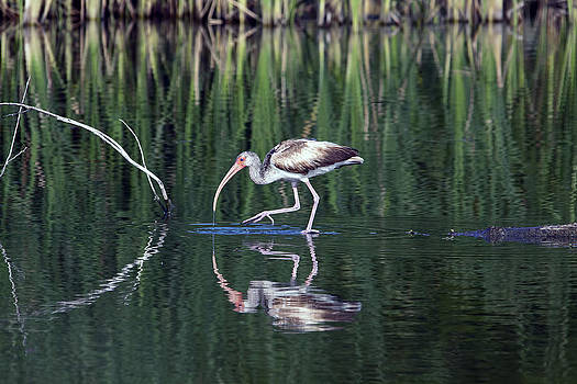 Ibis Morning by Barbara Cary