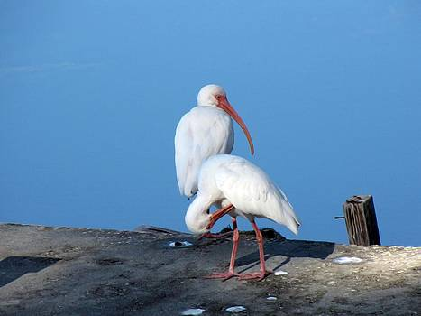 Ibis Preening On Edge of Bass' Dock by Robert Beverly