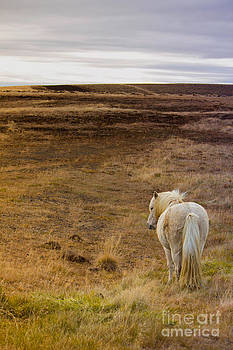 Icelandic Horse by Miso Jovicic