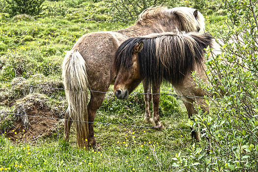 Gregory Dyer - Icelandic Horses - 05