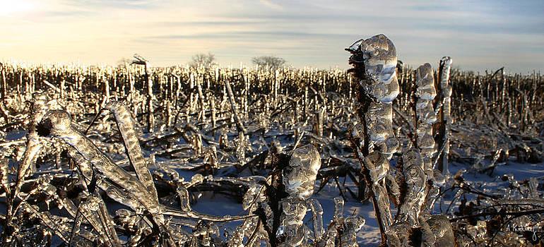 Icy Cornfield by Andrea Kelley