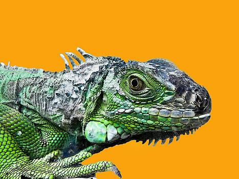Iguana by Jesus Nicolas Castanon