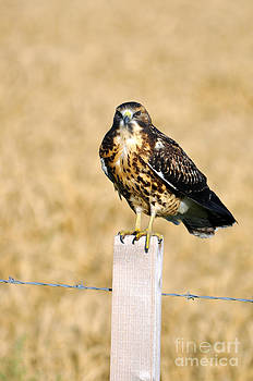 Immature Swainson's Hawk by Laura Mountainspring