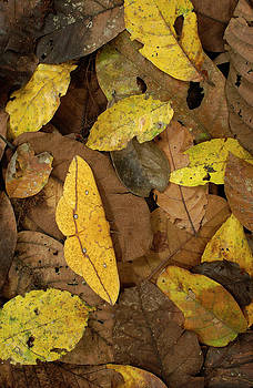 Pete Oxford - Imperial Moth Eacles Imperialis