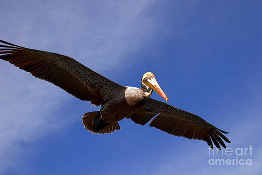 Susanne Van Hulst - In Flight Pelican