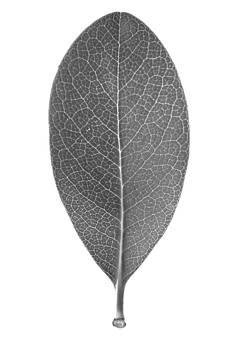 Jason Smith - Indian Hawthorn Leaf