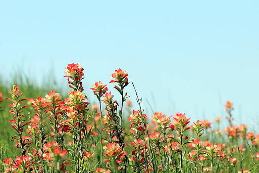 Indian Paintbrush by Elizabeth Hart