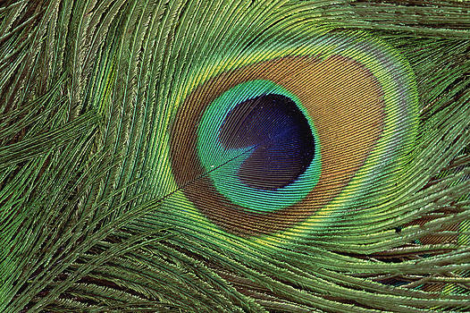 Gerry Ellis - Indian Peafowl Pavo Cristatus Display