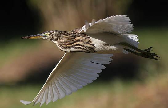 Indian Pond Heron in flight by Sandeep Gangadharan