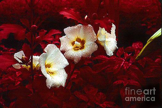 Infrared Flowers  by Joseph   Geswaldo