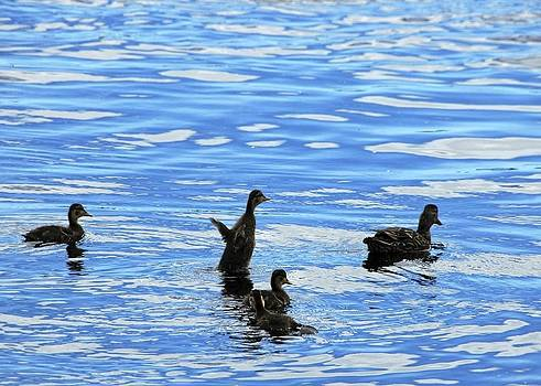 Inlet Ducks by Ryan Louis Maccione