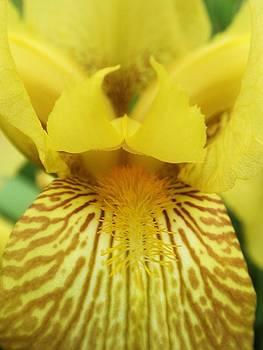 Inside Iris yellow by Beth Dennis