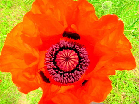 Inside Red Poppy by Amy Bradley