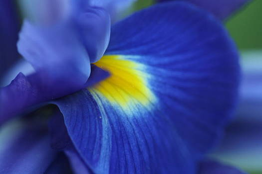 Intense Iris Bloom by Bonnie Boden