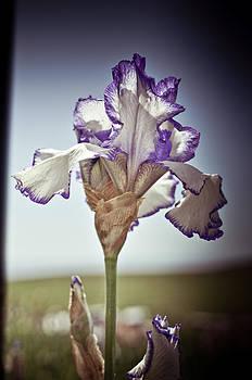 Iris by Ewa Kuc