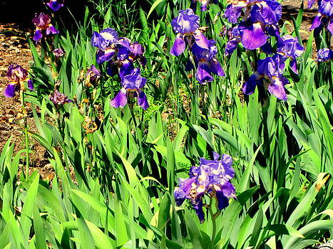 Iris Garden by Amy Bradley