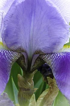 Iris No.11 by Christine Belt