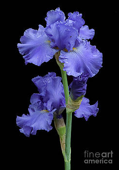 Tim Mulina - Iris on black