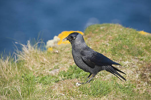 Howard Kennedy - Jackdaw gathering nesting materials