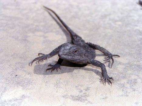 Jacky Lizard  by Joanne Kocwin
