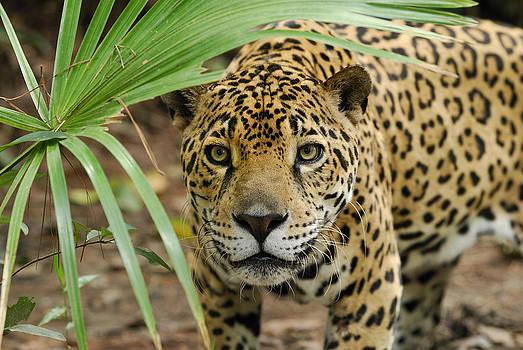 Thomas Marent - Jaguar Peering Through The Brush