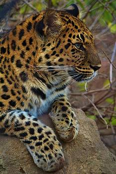 Jaguar Profile by Alexander Spahn