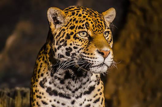 Jaguar Profile by Todd Heckert
