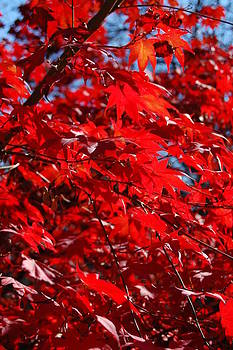 Japanese Maple 2 by Paul Thomley