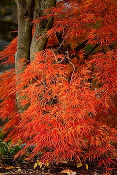 onyonet  photo studios - Japanese Maple in Autumn