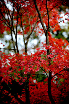 Japanese Maple in the fall by Frank DiGiovanni